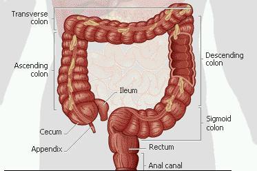 anatomi-usus_besar