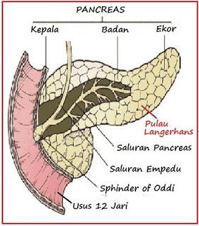 pancreas pulau langerhans