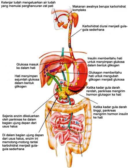 sistem-pencernaan-upe1